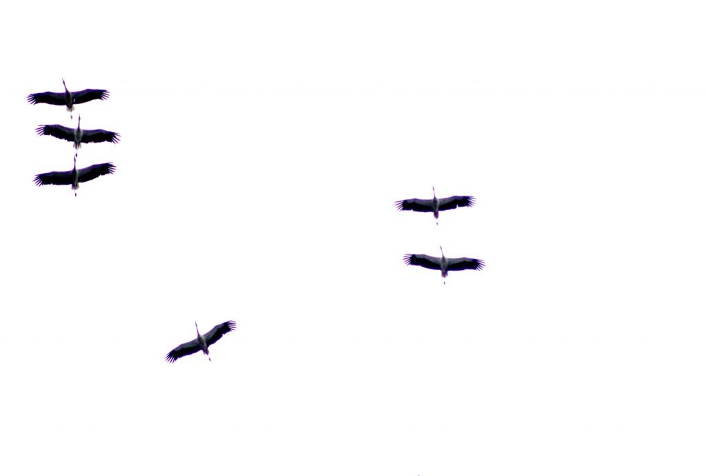 Einige Störche fliegend am Himmel, von unten fotografiert